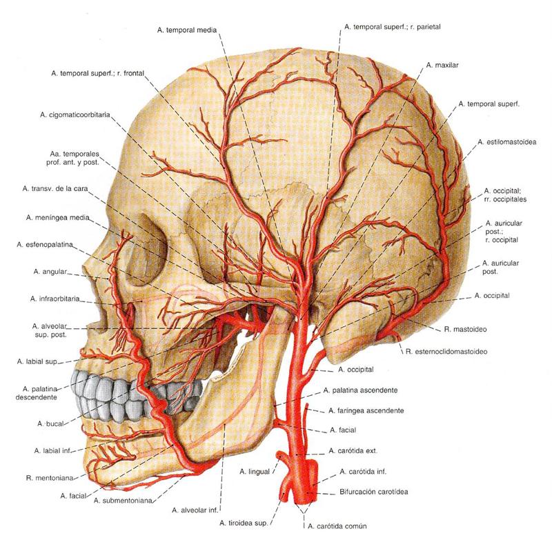 Moderno Arteria De La Anatomía Adamkiewicz Bosquejo - Imágenes de ...